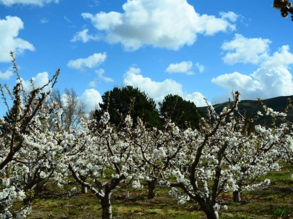 Climate change and cherries: It's the pits